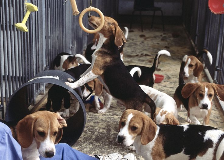 the controversial issue on animal testing Animal testing essay: in this essay, you are asked to discuss the arguments for and against animal testing, and then give your own conclusions on the issue this means you must look at both sides of the issue and you must also be sure you give your opinion too.