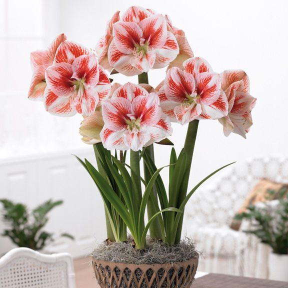 56 best ideas about amaryllis on pinterest ranunculus for Amaryllis sweet pink