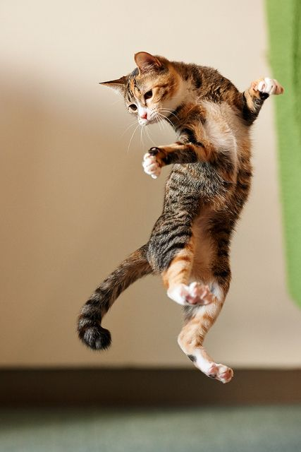 """Looks like one of those classic """"Yikes!  What was that?!!!!"""" kind of jumps that cats often do.............         (via Skye)"""