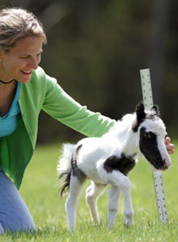 Einstien the world's smallest horse, perhaps