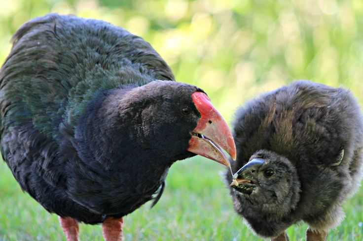 First takahe chick at Wairakei, photo taken December 2015. Photo credit credit Sian Moffit, Dept of Conservation Ranger. — at Wairakei Golf + Sanctuary.