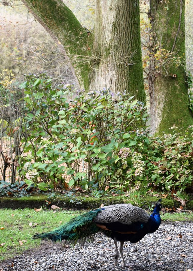 #Peacock at Marlfield House #gardens in #wexford #ireland