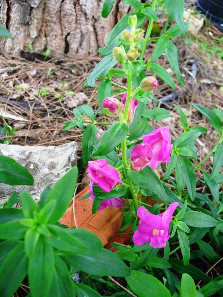 Bocas-de-Lobo | Preço por unidade: 0,50€ | Referência: F015 | Mais informações em: http://biokafs-agro.weebly.com/flores.html