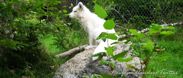.A photo of an Arctic Fox I snapped at Salmonier Nature Park.