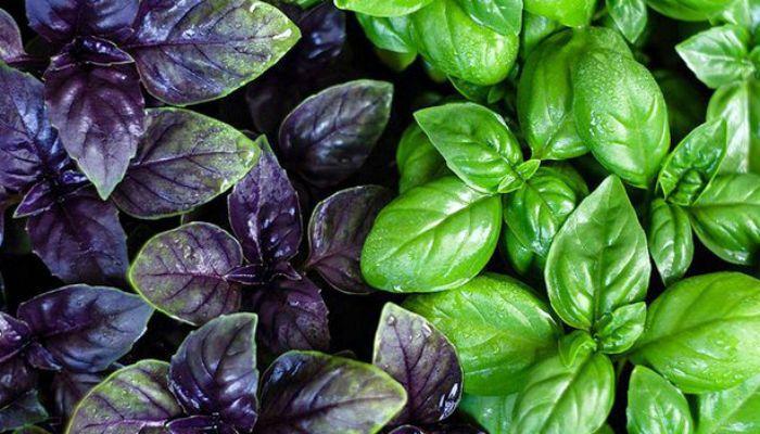 Обязательно сажайте базилик на одной грядке с другими овощами | дачные хитрости