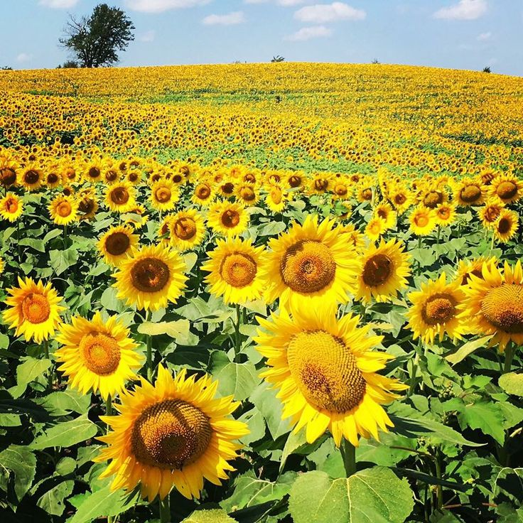 1805 Best Girasoles Images On Pinterest Sunflowers Sunflower Art