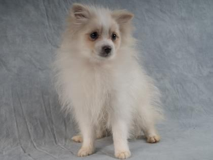 ●11•26•16 SL●Dooley is a male Pomeranian puppy available at National Mill Dog Rescue, Colorado Springs,CO.