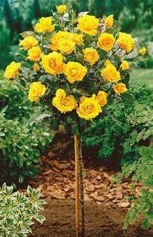 Trandafir galben pe trunchi înalt   Sieberz S.R.L