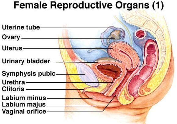 Female reproductive organ sagittal plane - Anatomy Note - www.anatomynote.com