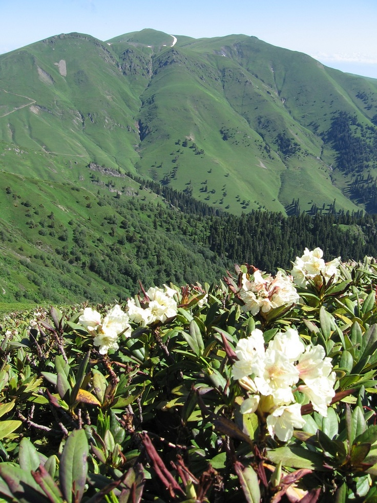 Rhododendron (Rhododendron Ponticum), Borjomi-Kharagauli National Park
