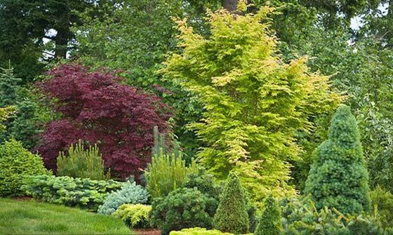 In addition to the low-growing, spreading types, other dwarf conifers are more upright and add vertical punctuation to a small landscape. These are especially useful in larger borders, but also to add height and also soften the corner of a house, flank the front door, or frame a pergola, swimming pool, or water feature. This is where you must be vigilent about the eventual mature size. Don't the ones who have to prune your conifers into submission, thereby ruining their inherent graceful…