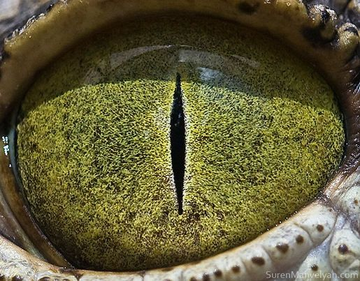 Animals' Eyes Up Close - Nile Crocodile. Crocodiles were revered and were even kept in temples.