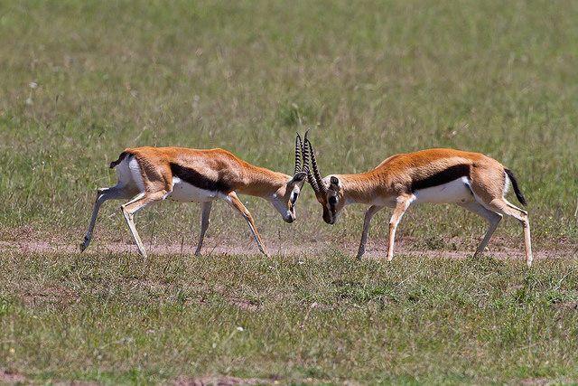 Thomson's Gazelle by Kevin B Agar, via Flickr