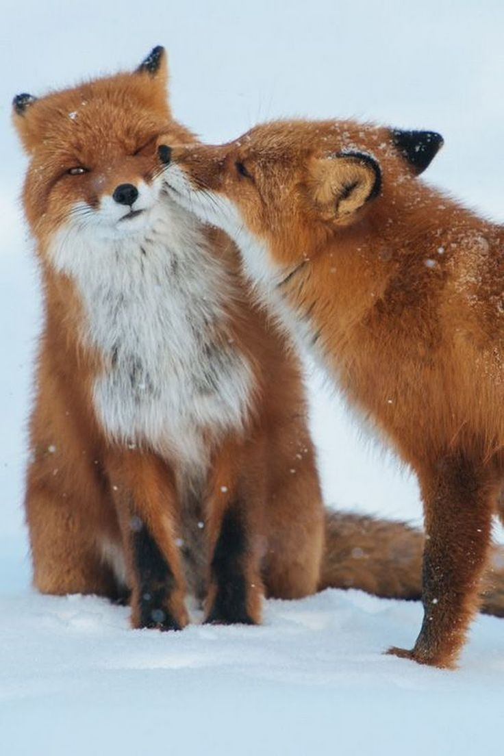 Virginia Fox - not sure if she wants a kiss or not. Gorgeous creatures!