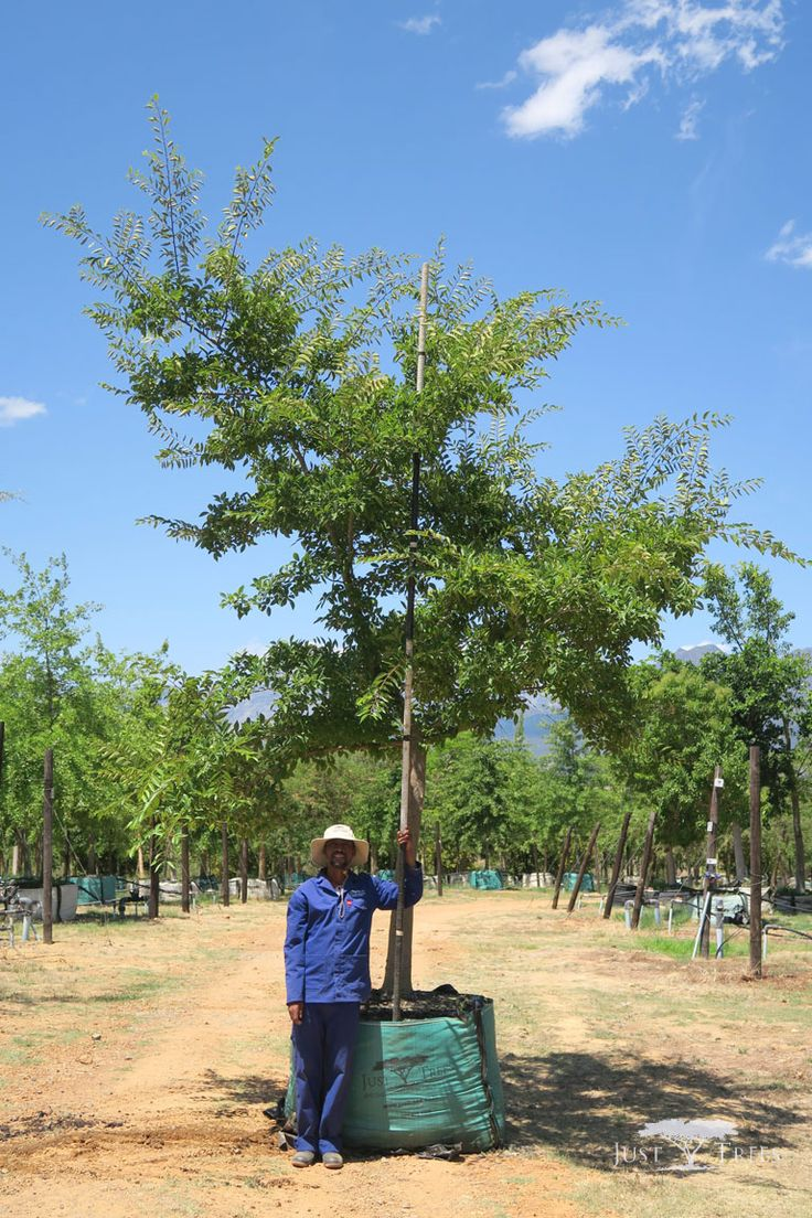 1000L Celtis sinensis. This deciduous tree is capable of growing to an impressive height. Able to grow in a variety of conditions, it is a popular choice for a large garden and parks. This specimen wouldå work beautifully both as an avenue and as a windbreak.