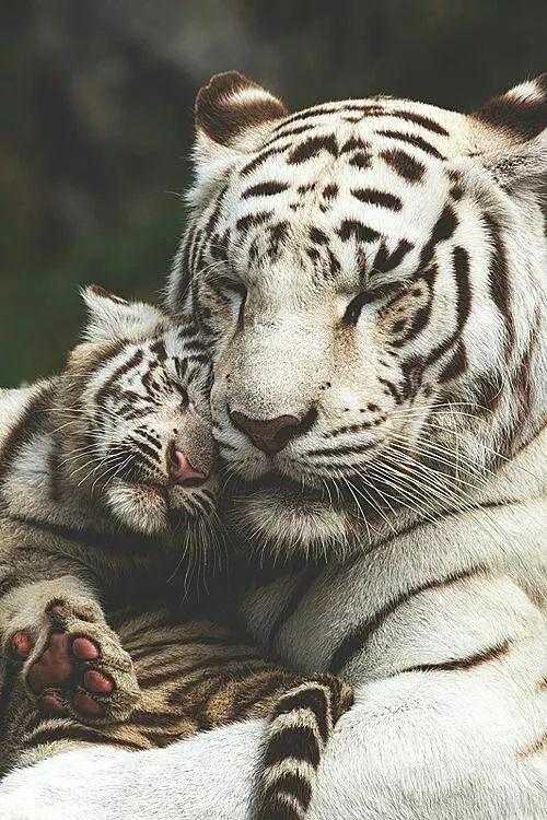 Foto: Tigre de bengala  Es la subespecie más numerosa y conocida de tigre, y se encuentra en una gran variedad de hábitats, incluyendo sabanas y bosques tropicales y subtropicales. Su piel es generalmente de color naranja o leonado. Existe una mutación genética que produce que la piel naranja del tigre sea sustituida por el color blanco; a estos tigres se les conoce como tigres blancos.  Buenas tardes Amigos.