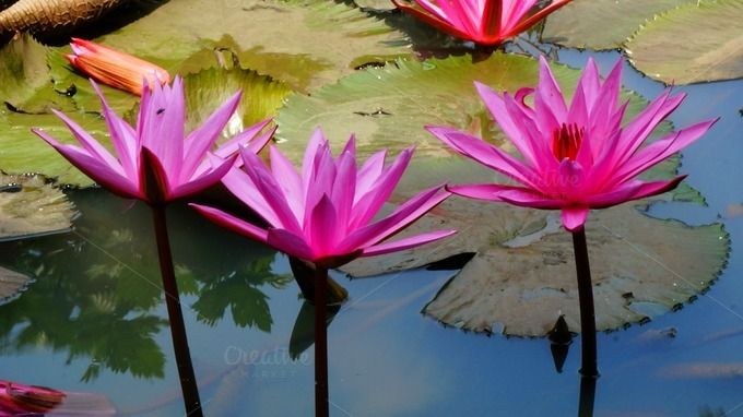 Pink Lotus by StreetNotes on @creativemarket