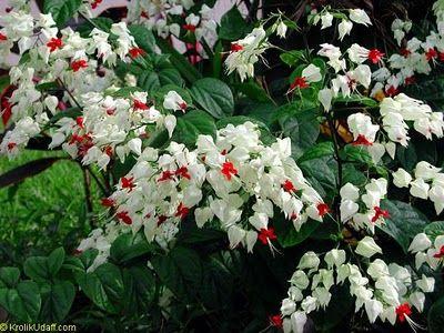 Lágrima-de-cristo ou clerodendro-trepador (Clerodendrum thomsonae): vai muito à meia-sombra e produz belas flores em cachos. Originária da África, multiplica-se por estaquia da ponta dos ramos.