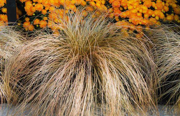 Carex flagellifera - very pretty.