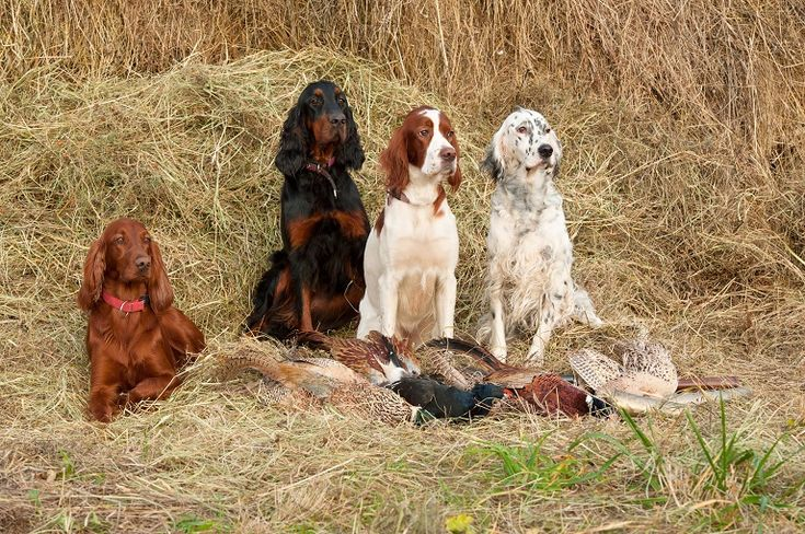 All 4 setters - red irish, gordan, white and red irish, English