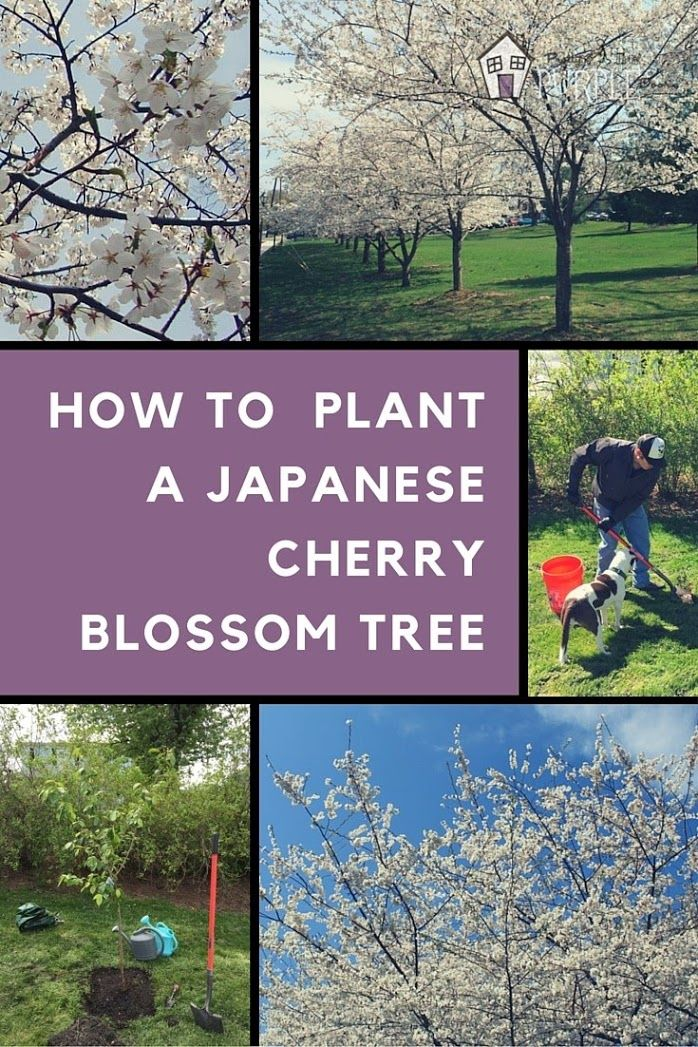 If you are a fan of the Cherry Blossom Festival in Washington D.C., you'll want to plant your very own Japanese Cheery Blossom Tree. There are some tricks to caring for this and keeping it free from disease so read this post first! ahh, the beautiful flowering Yoshino Cherry tree.