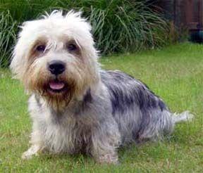 Dandie Dinmont Terrier- This is burito, my nieces dandie