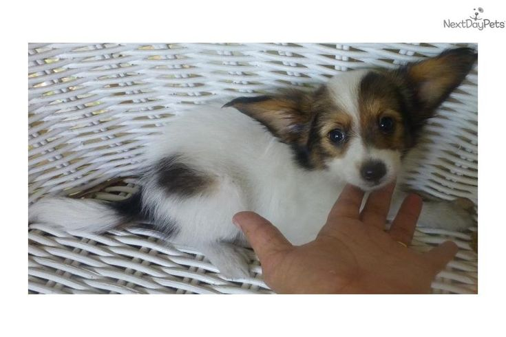 Meet ROCKY a cute Papillon puppy for sale for $750. AKC PAPILLON DARK SABLE/WHITE/FAWN