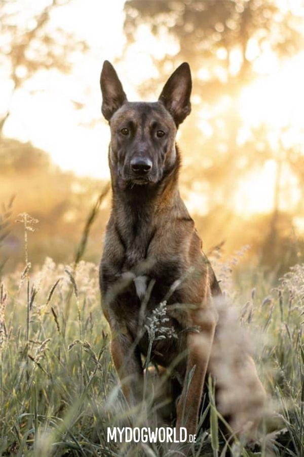 Belgischer Schaferhund Hunde Shooting Ideen Belgian Malinois Dog Malinois Dog Belgian Malinois