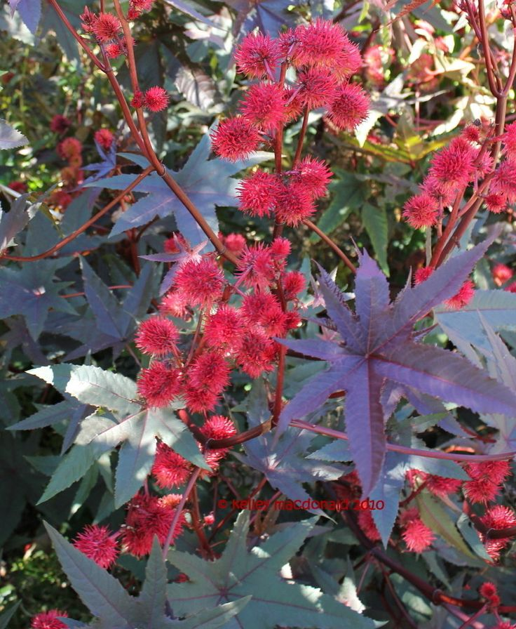 View picture of Red Castor Bean 'Carmencita' (Ricinus communis) at Dave's Garden.  All pictures are contributed by our community.