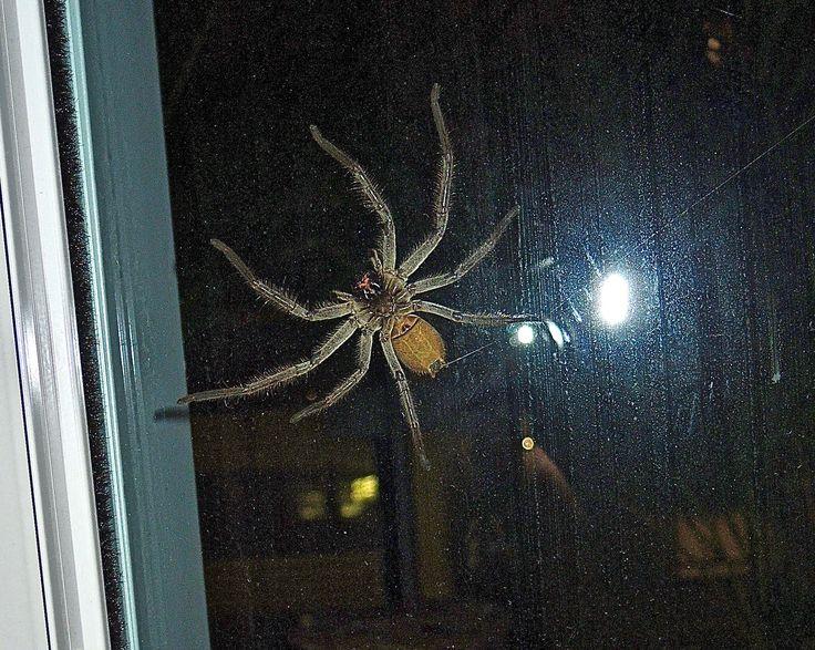 OZ Huntsman Spider.