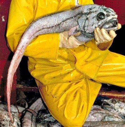 Giant_grenadier. A predator to the vampire squid. de