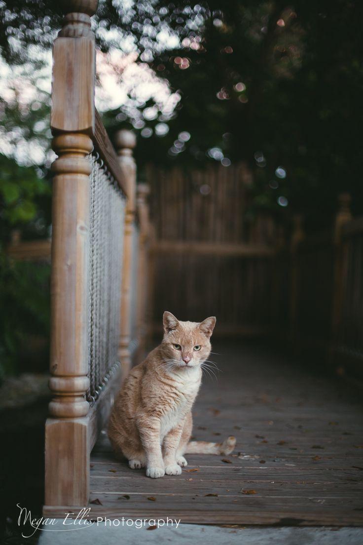 Hemingway House Cat,  , Key West Florida. Key West Weddings, Destination Weddings, International Wedding Photographer, Key West, Knoxville, TN