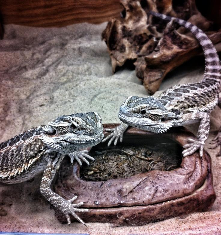 Breaded Dragons - Szakállasagáma sàrkànyok