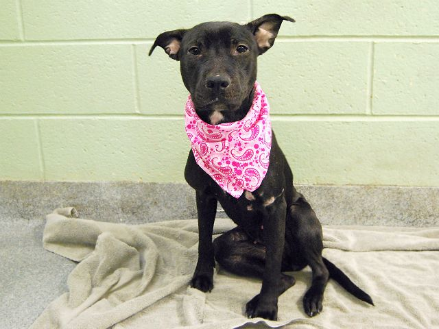 Manhattan Center\r\n\r\n12\/01\/2016 WEB MEMO\r\nA volunteer writes: Black is beautiful! Tiny Guinevere is no coal nugget, but a gentle and affectionate diamond in disguise. Her favorite place to be is doling out flurries of kisses from a cozy lap. She arrived with a few minor boo boos, but they have already healed nicely and besides, who could look anywhere but deep into those pleading eyes? Guinevere wears her loving heart for all to see and instantly charms everyone who meets he...