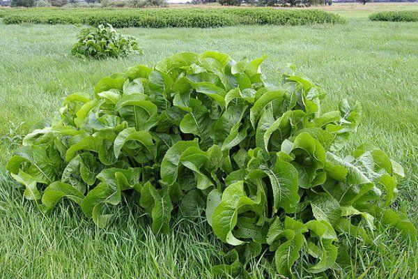 Листья хрена – единственные из растений, способные вытягивать соль через поры кожи » Главная | В кайф.ком