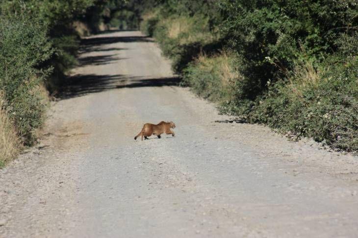 Andean puma crossing the road near Orsorno by Marcel Aguila   from Diario El Huemul http://www.elhuemul.cl/2014/02/10/fotografo-de-osorno-capturo-el-momento-en-que-un-puma-lo-seguia-en-sector-rural/
