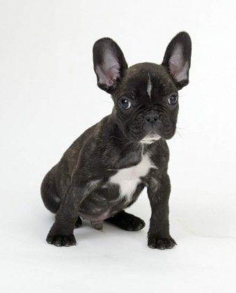 Do French Bulldogs Shed? • BunkBlog