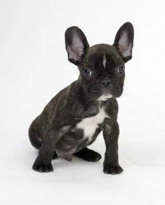 Do French Bulldogs Shed? • BunkBlog
