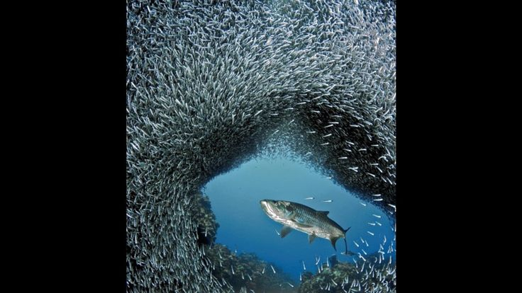 Sharks in a Huge Shoal of Fish #humor #funny #lol #comedy #chiste #fun #chistes #meme