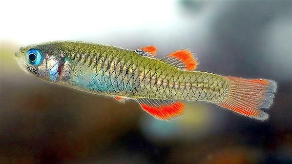 Scaturiginichthys vermeilipinnis, Australia