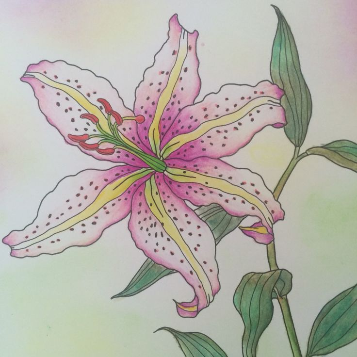 Anyone like lily?   Harmony of Natural  Derwent watercolor & Derwent Inktense, mungyo pastel (background) within 1/2 hours