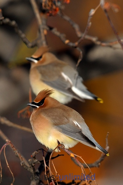 Cedar Waxwings perched in crab apple tree, New Hampshire by Garth McElroy