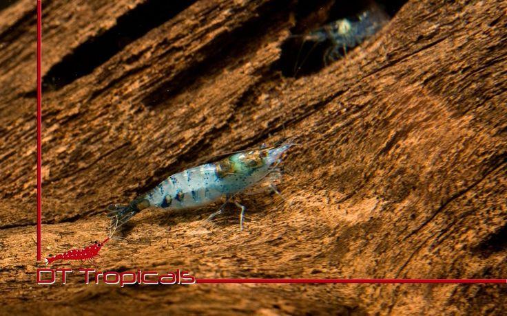 Blue/ Black Rili Shrimp (Neocaridina Davidi)