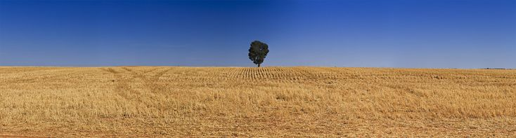 Guard of endlessness - endless cultivated harvested field of crop with single tree on the horizon. Wheat belt agricultural land in South Australia and Victoria.