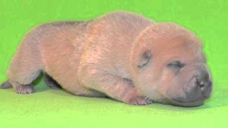 【ヤバイ!キュン死する】萌え〜♪超かわいい♪ シャーペイの赤ちゃん(Cute puppy /귀여운 강아지 / chiot mignon / l...