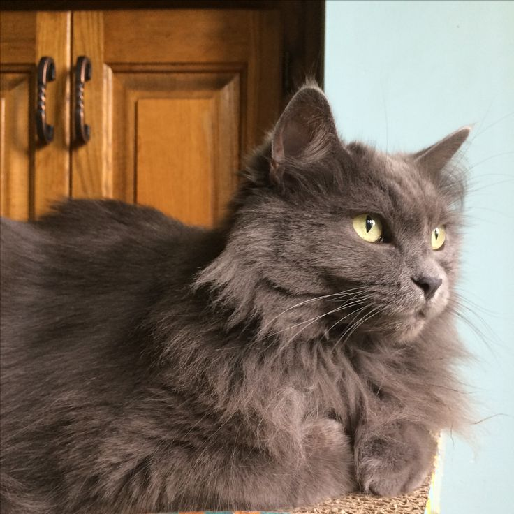 Nebelung cat, grey cat, softest fur in the world