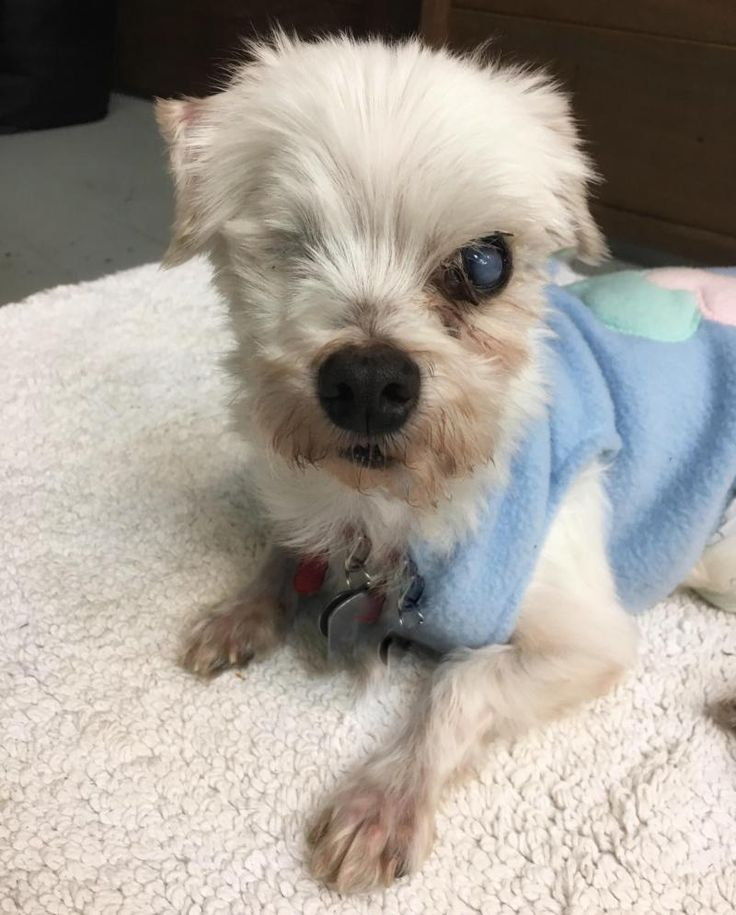 Special Needs! Blind! Olaf is an adoptable senior Maltese searching for a forever family near Sherman Oaks, CA. Olaf arrived in the United States after being rescued from a Korean slaughter house. Available at Animal House & Wellness Foundation.