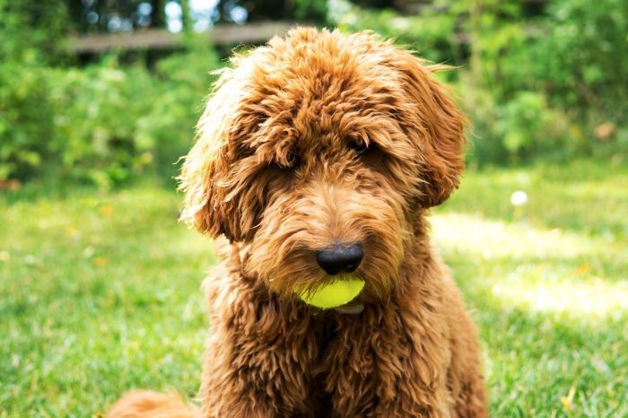These Are The 20 Best Hypoallergenic Dog Breeds For Those With