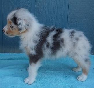 blue merle australian shepherd…zoo cute