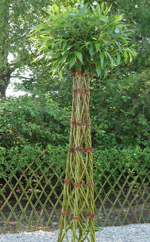 Salix tree- hieno kartiomainen pajupuu